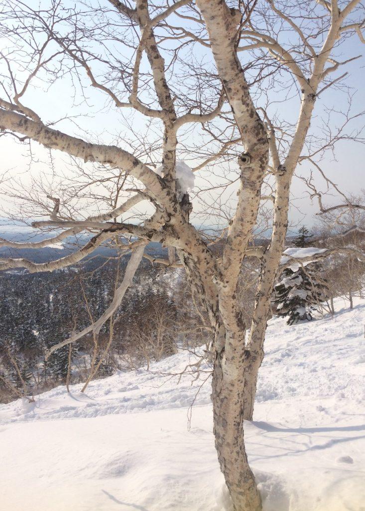 大雪山の樹木