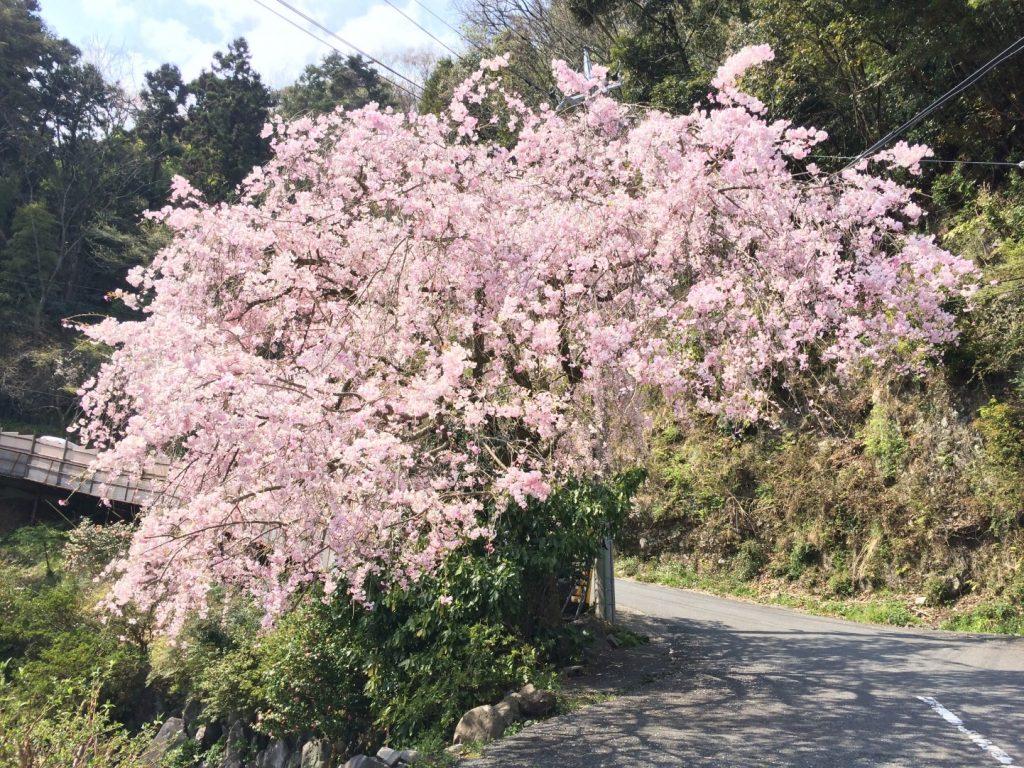 湯本の桜その2