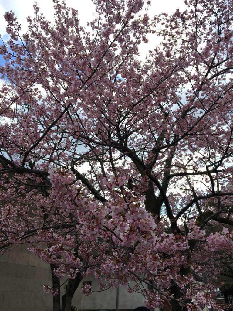 修善寺の寒桜