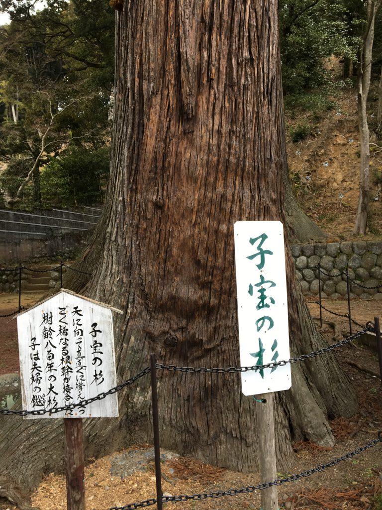 日枝神社の子宝の杉