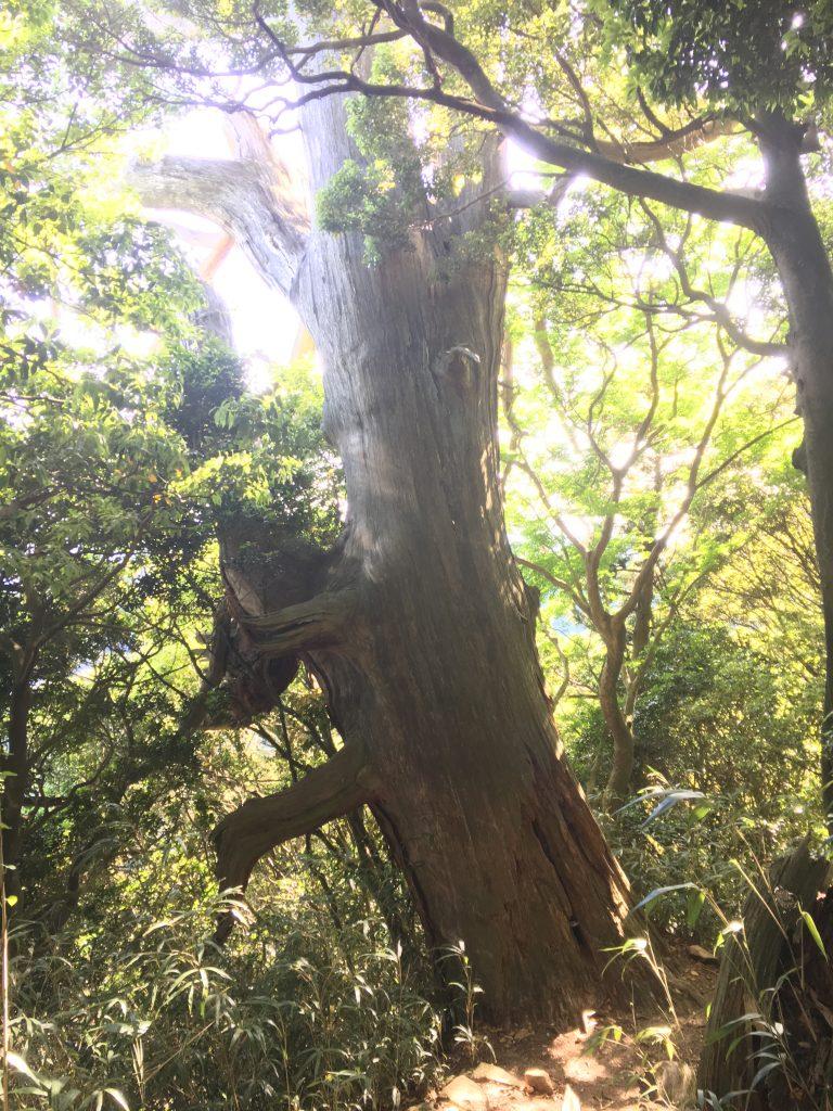 摩耶の大杉