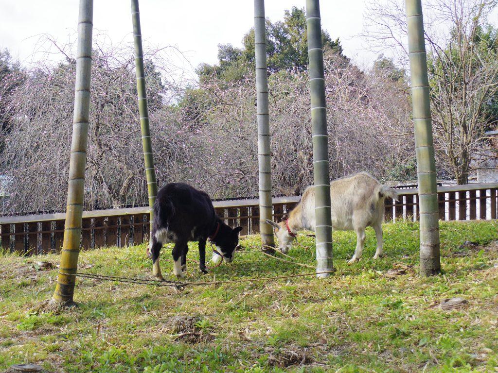 修善寺の動物・ヤギ