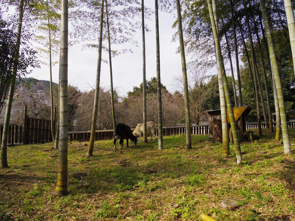 修善寺のヤギ