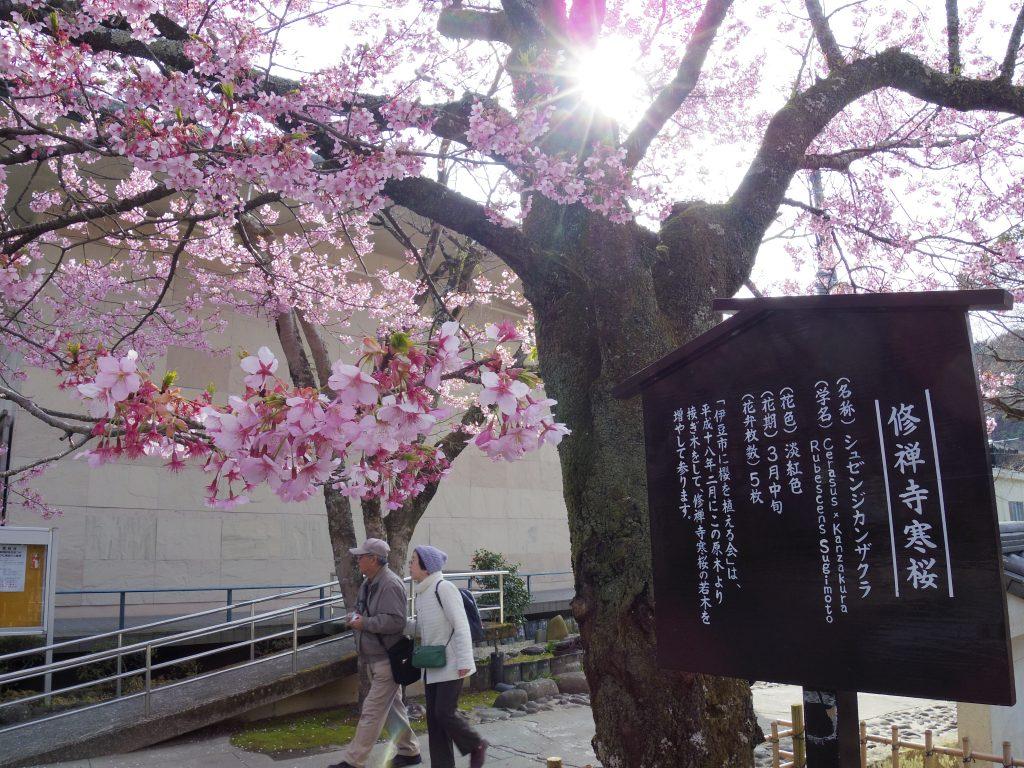 修善寺寒桜の看板