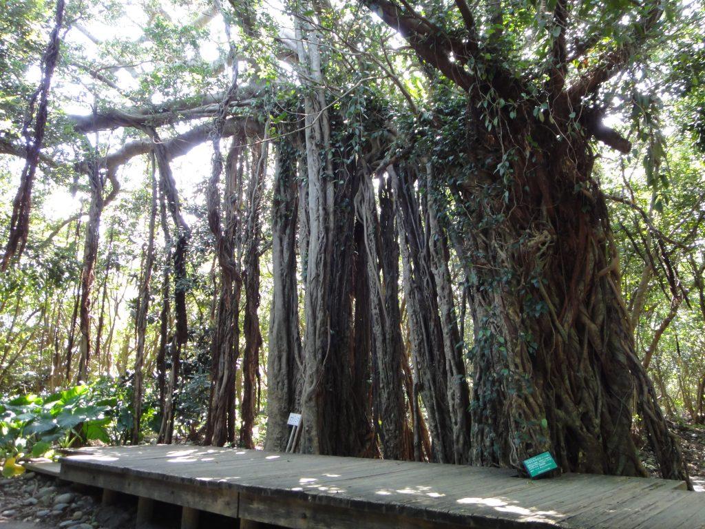 樹高15メートル以上のガジュマル