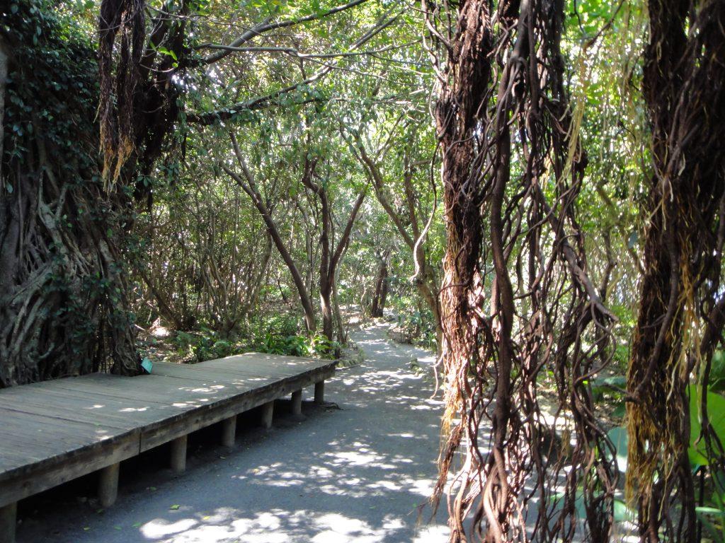ガジュマルの木と踊り場