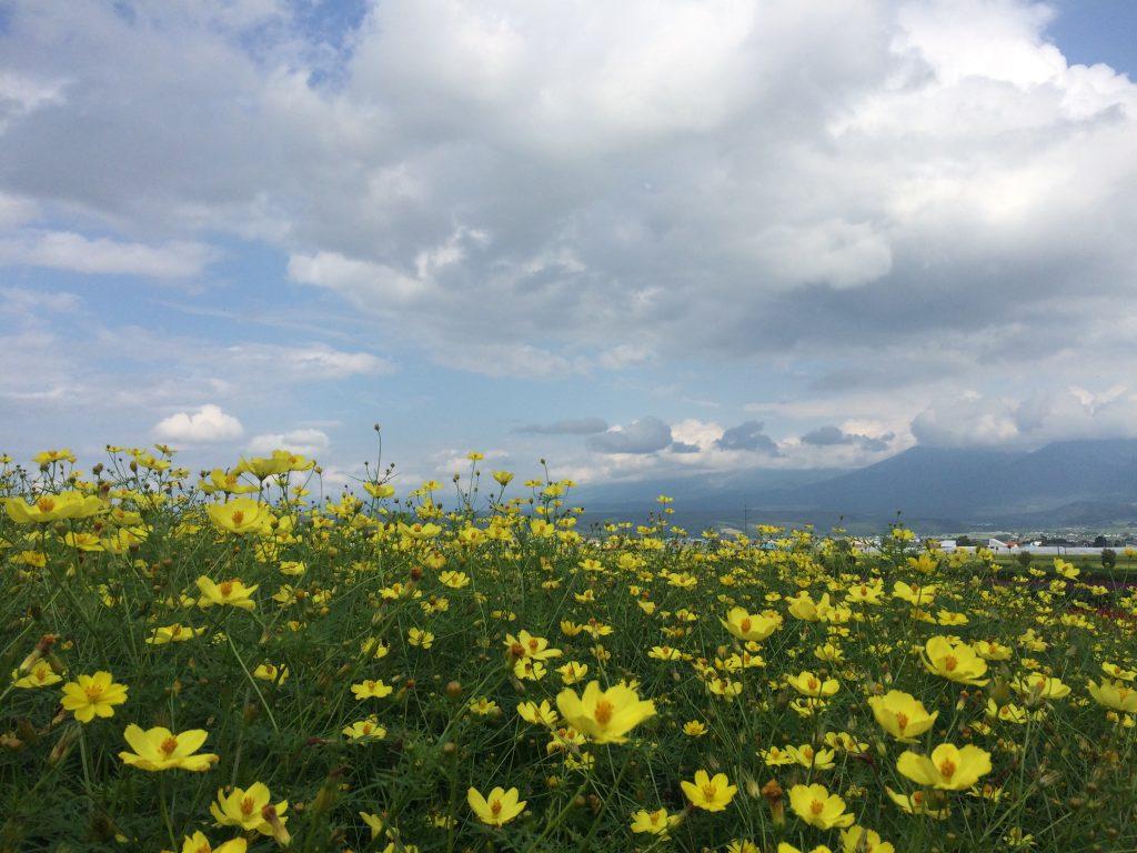 黄色いラベンダーと白雲