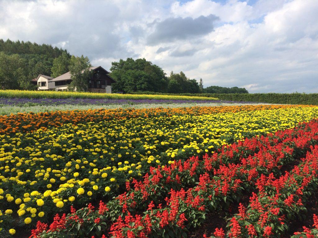 色とりどりのラベンダー畑
