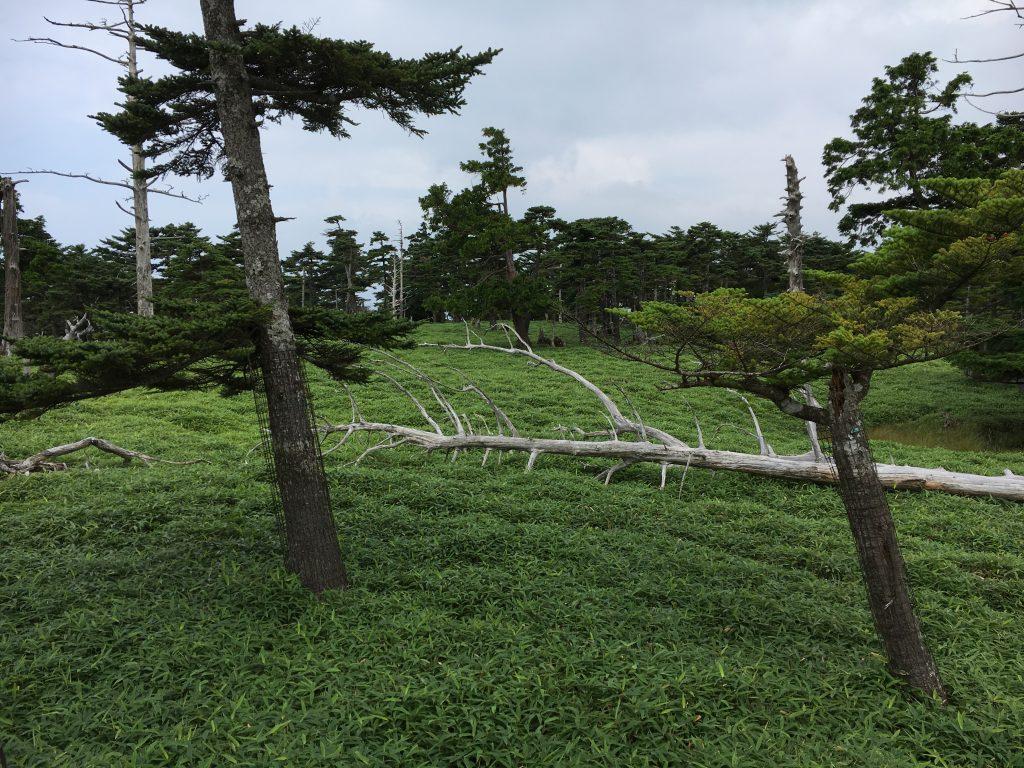 巨大な立ち枯れの木