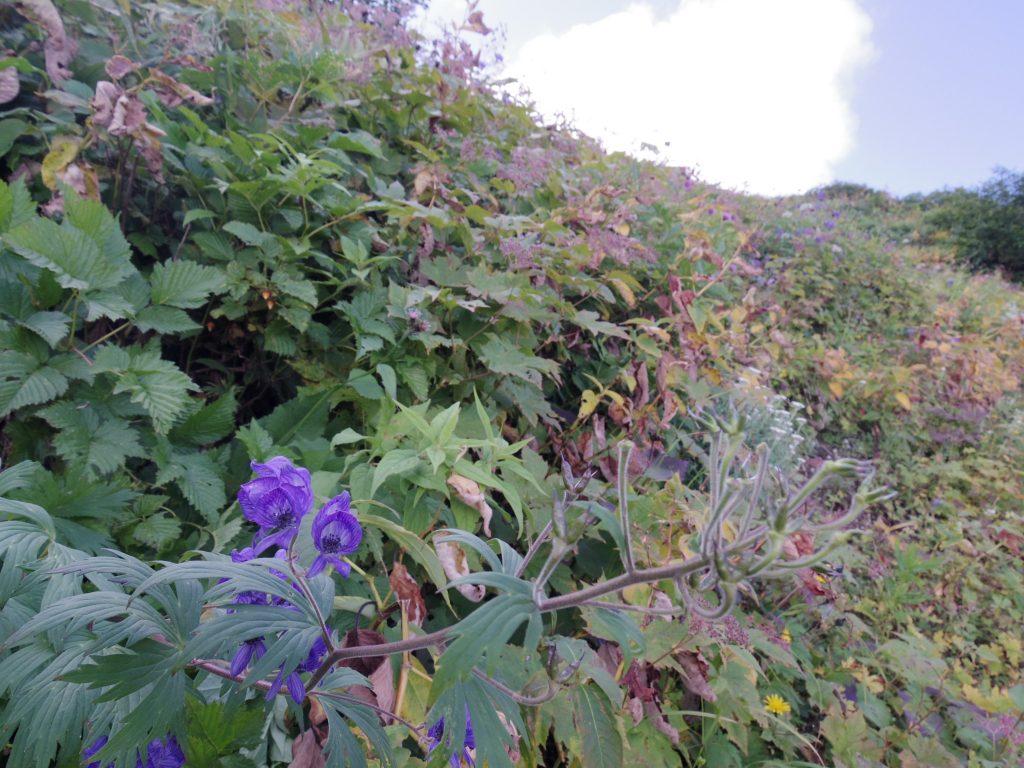 燕山荘付近のお花畑