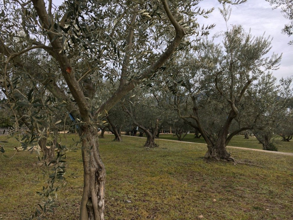 オリーブの木その3