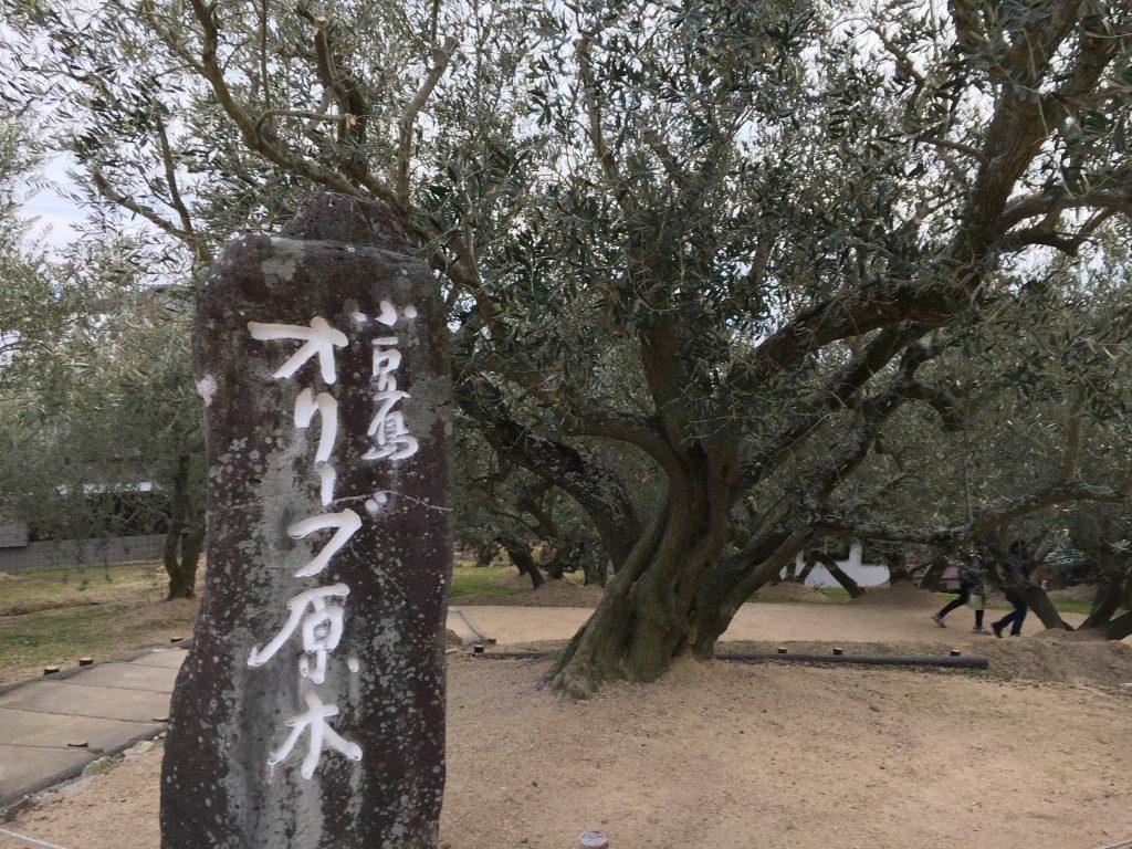 オリーブ原木