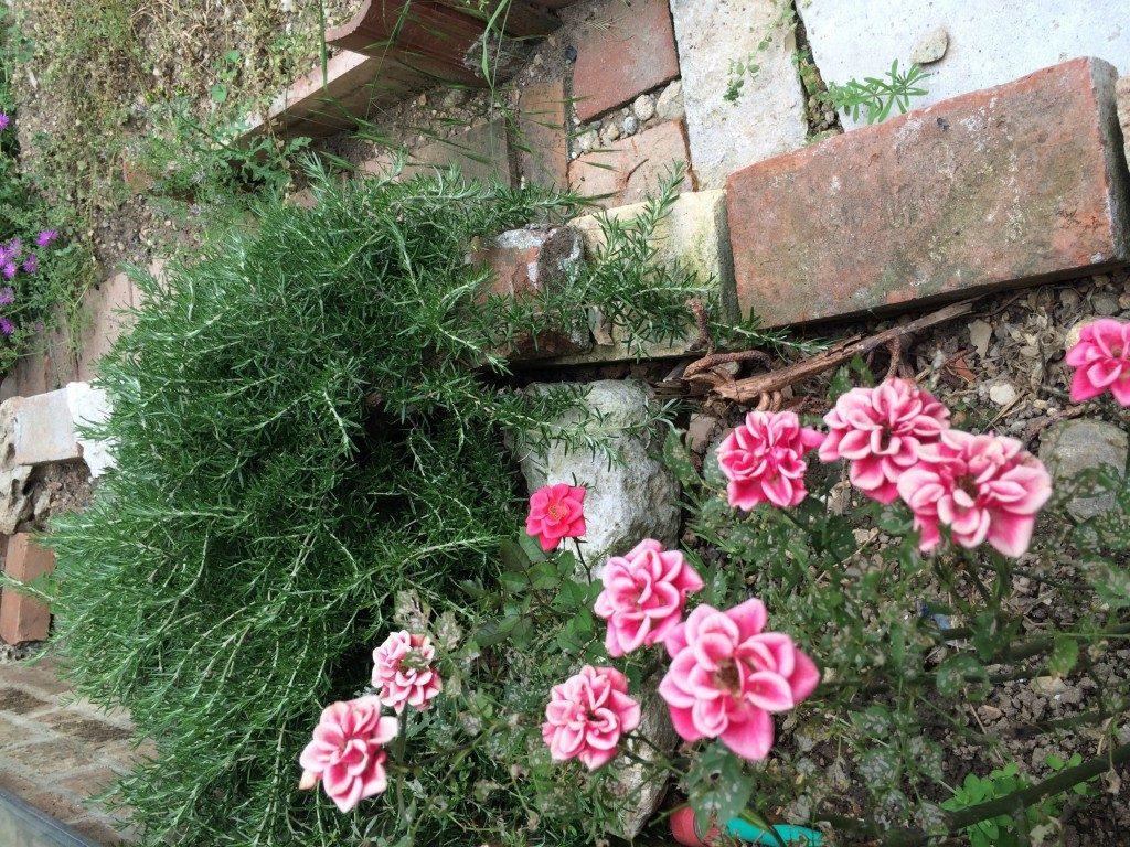 花壇とミニバラ