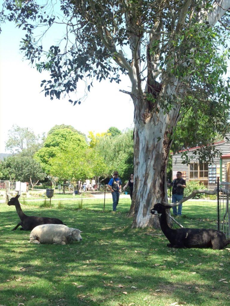 木陰で休憩する羊とアルパカ