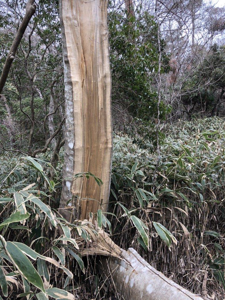 真っ二つに割れた木