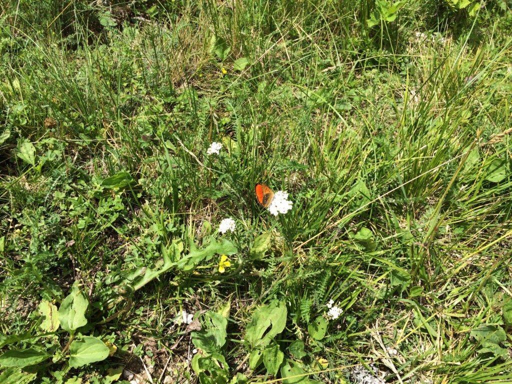 イタリアの蝶々