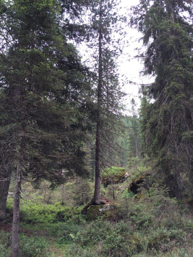 岩の上に杉