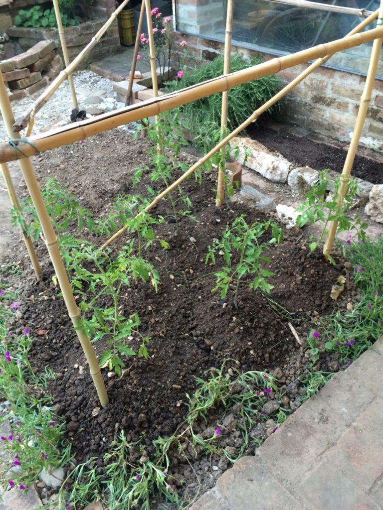 バジルを植える