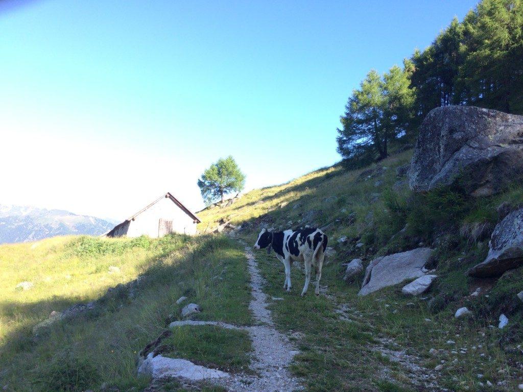 トレイルを遮る牛