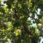 プラムの木