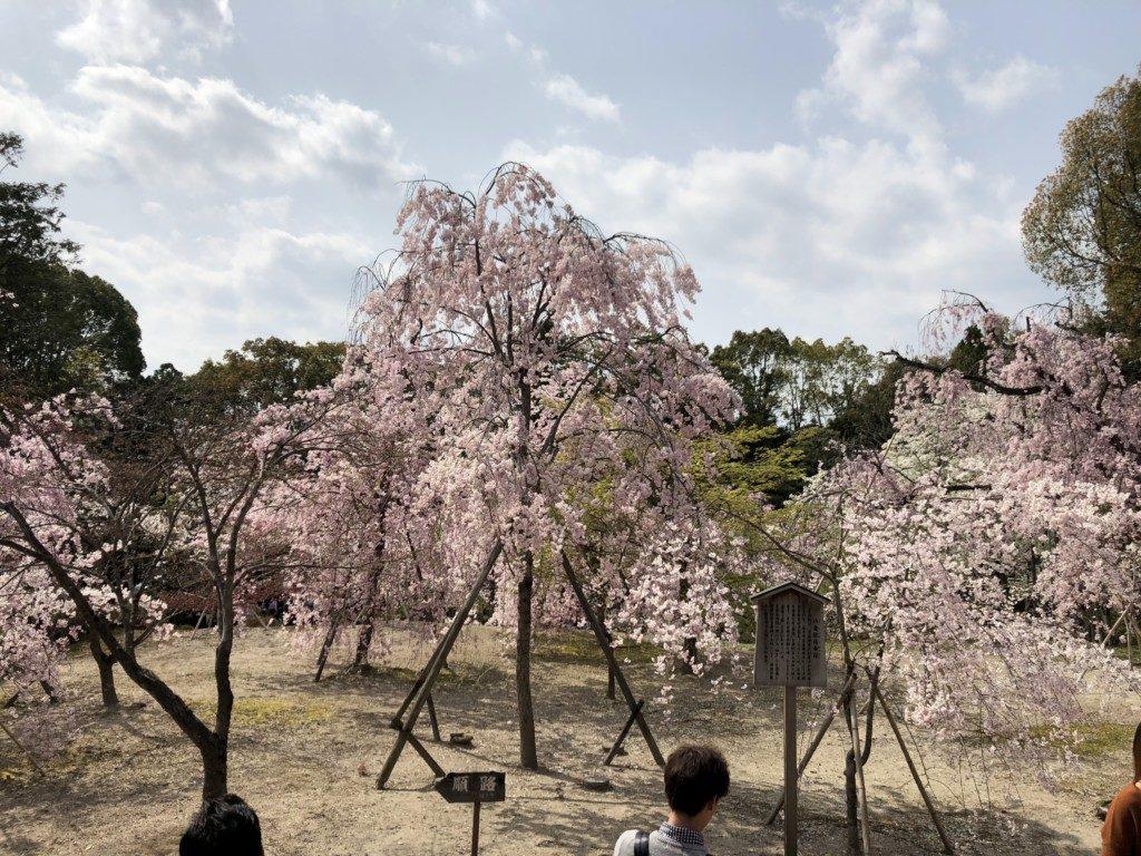 八重桜枝垂れ桜