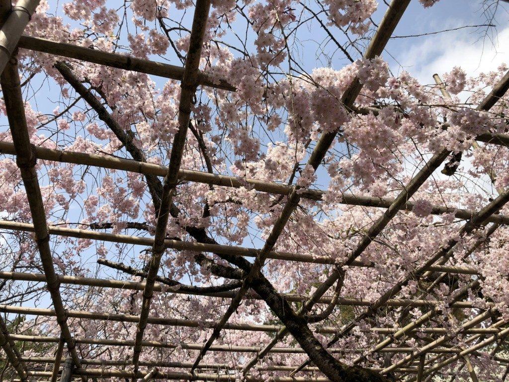 枝垂れ桜その2