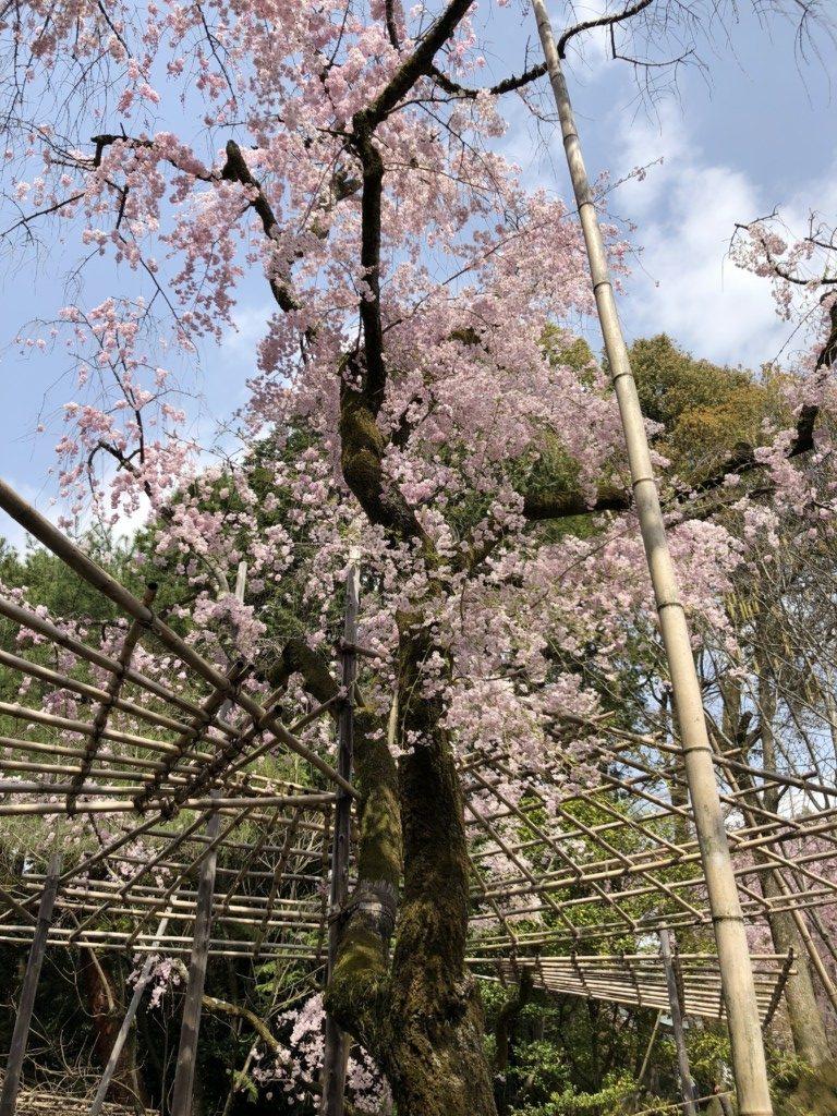 枝垂れ桜に添えられる竹