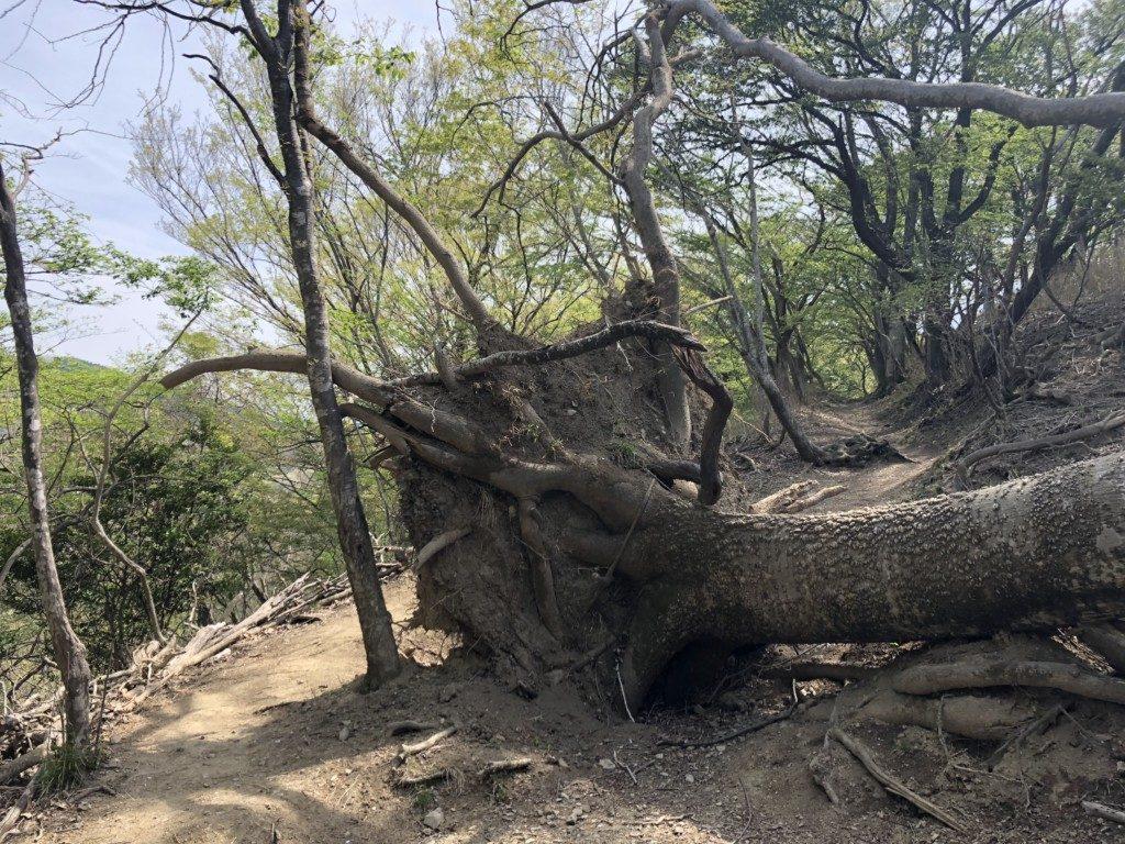 巨木の倒壊