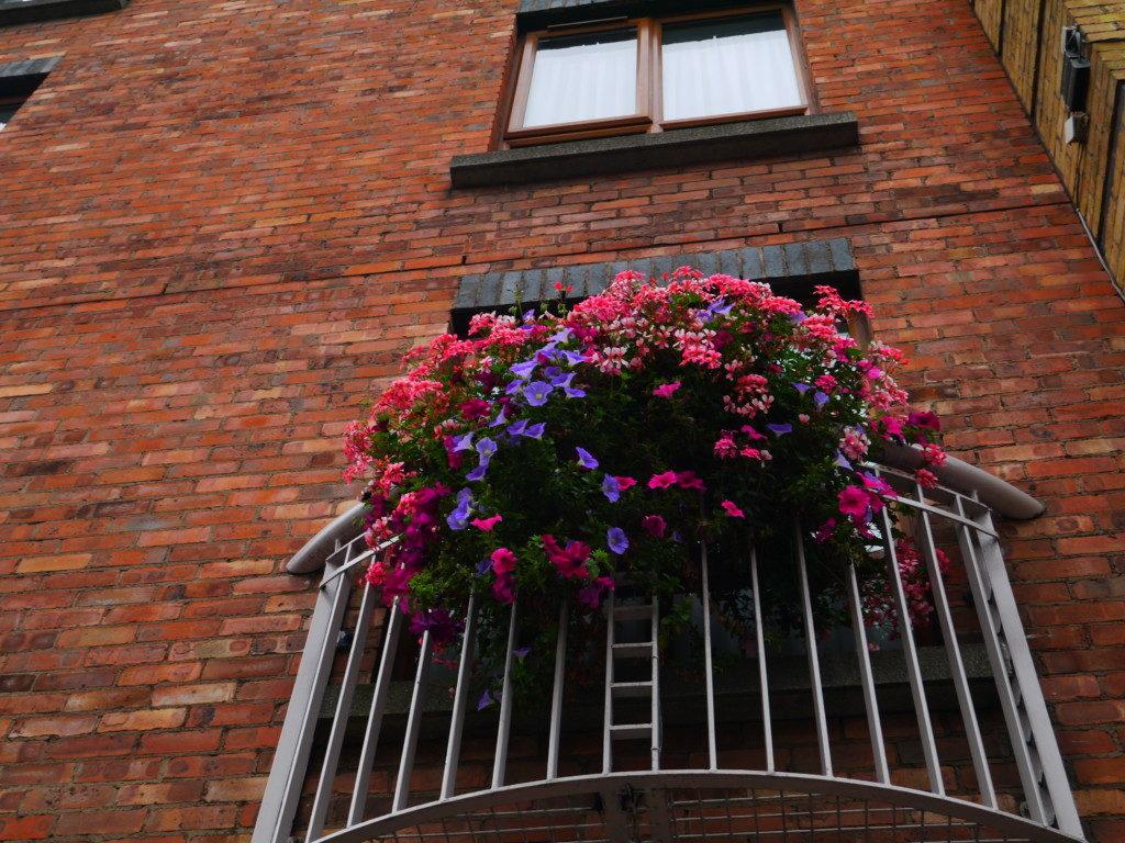 アイルランドのカラフルなお花