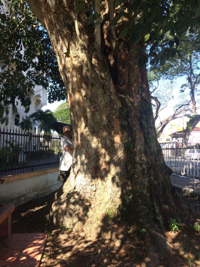 ゴムの木その2