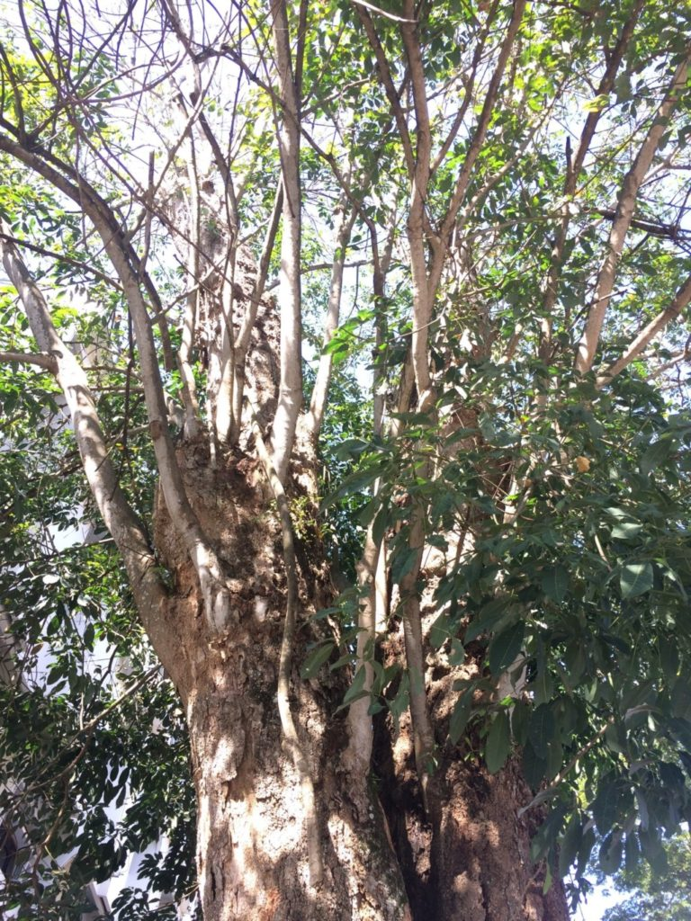 ゴムの木近影