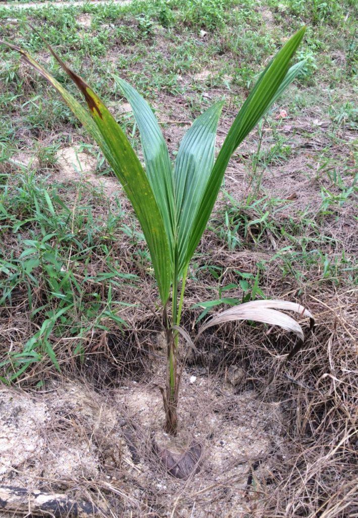 成長したココナッツ