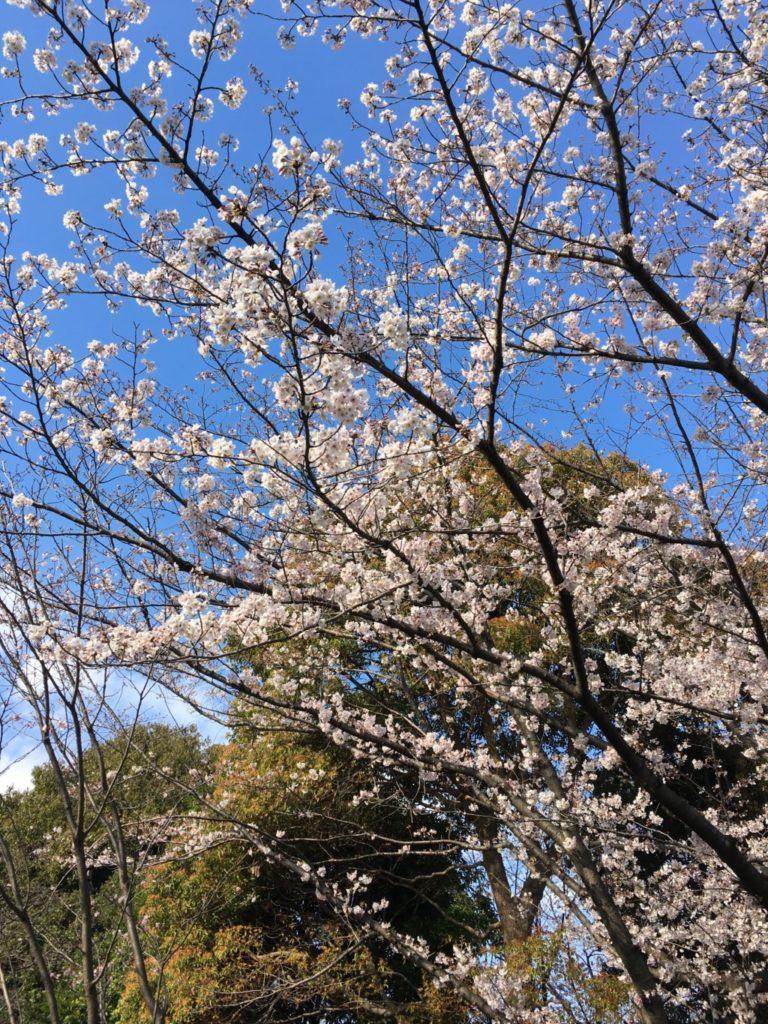 売店の横の桜